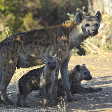 Hyena in Ruaha National Park