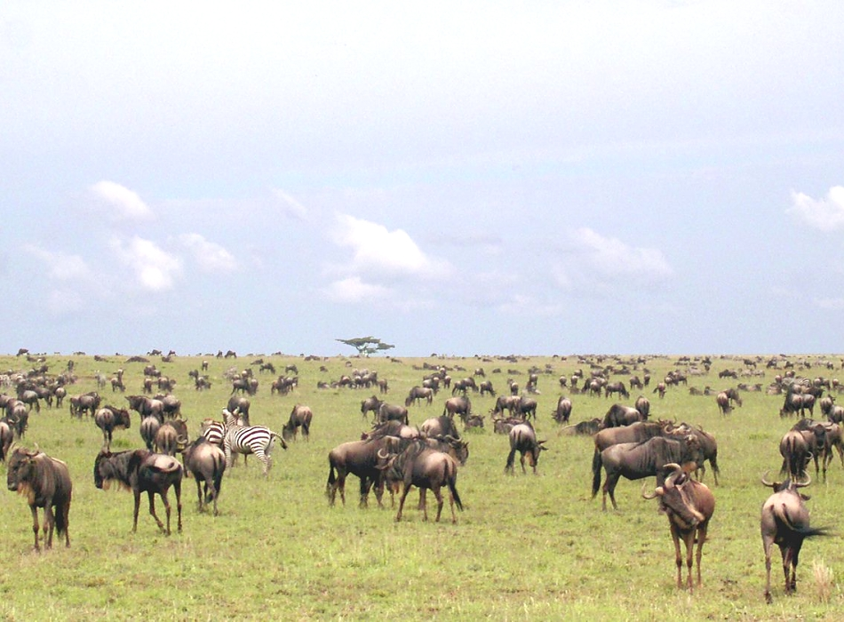 Wildebeests (herd) in Serengeti
