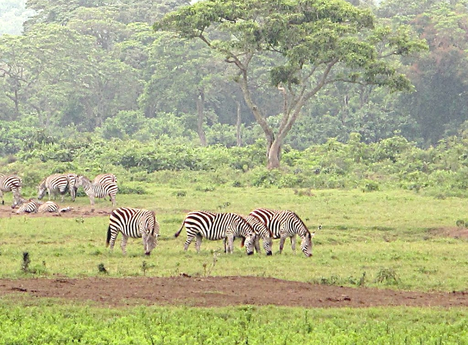 Zebras in Arusha National Park